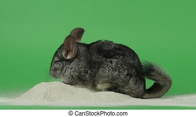 Bathing chinchilla in special sand for these animals. Green background