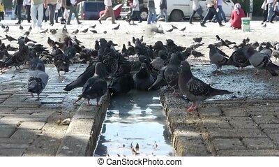 bathing., colombe, oiseaux
