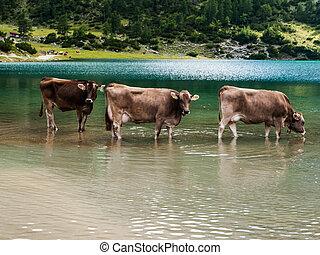 Bathing cows