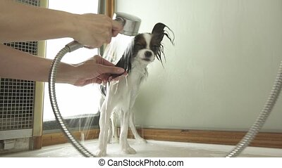 Bathing dog Continental Toy Spaniel Papillon stock footage...