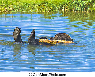 Bathing grizzly bear. Rare moment.