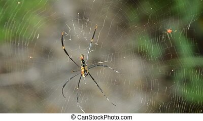 batik golden spider crawling on net waiting for victims in...