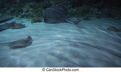 Batoidea is superorder of cartilaginous fish commonly known...
