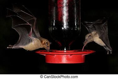 Endangered Lesser Long-nosed Bat (Leptonycteris yerbabuenae) (left) and Mexican Long-tongued Bat (Choeronycteris mexicana) (right) at a hummingbird feeder