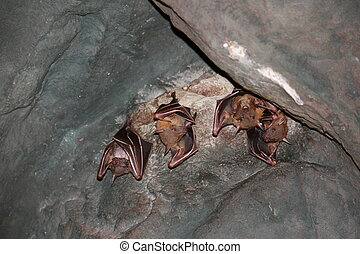 Bats hanging in the cave - A group of bats hanging upside ...