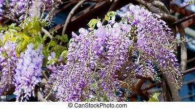 battement des gouvernes, fleurs, closeup, vent, lilas