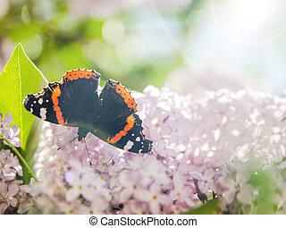 batterfly, auf, der, lilac.