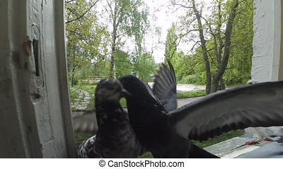 Battle pigeons on the window sill - Battle of pigeons on...