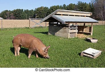 bauernhof, bereich, tamworth, frei, schwein