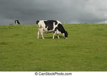 bauernhof, kühe, molkerei, vereinigtes königreich