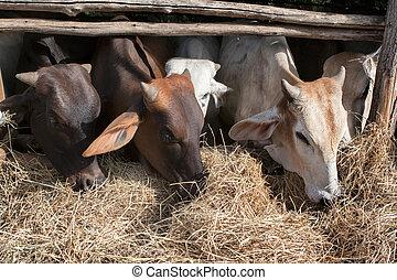 bauernhof, ländlich, ranch, inländisches vieh