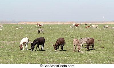 bauernhoftiere, esel, und, kühe