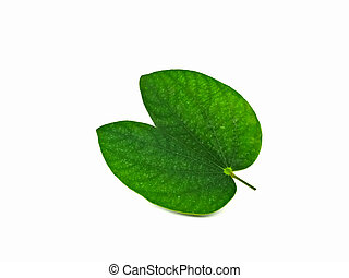 Bauhinia acuminata foliage isolated on white background
