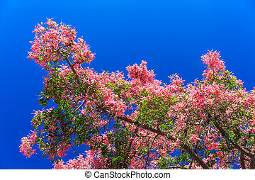 Bauhinia orchid tree with pink flowers