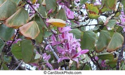 Bauhinia. Purple Orchid tree.