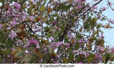 Bauhinia. Purple Orchid tree