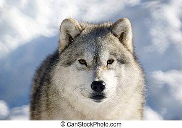 bauholz- wolf