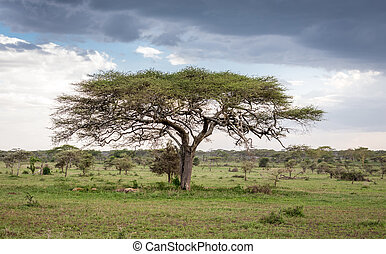 baum, afrikas, landschaftsbild