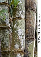 baum, bambus, schimmel, weißes, stämme