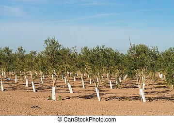 baum- baumschule, mit, reihen, von, junger, olivenbäume
