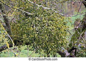 baum- frucht, mistel, treetop