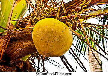 baum, kokosnuss, altes