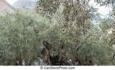 baum, olive, altes , stamm, branches.