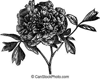 baum, pfingstrose, (paeonia, moutan), weinlese, engraving.