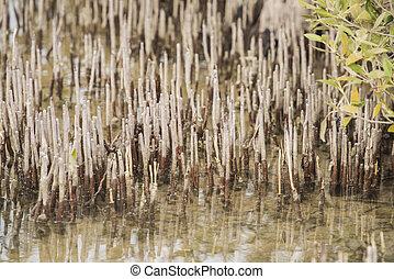 baum, tropische , lagune, mangrovenbaum, weißes, wurzeln