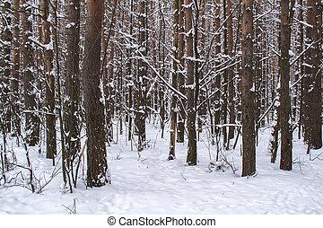 baumstämme winter, wald