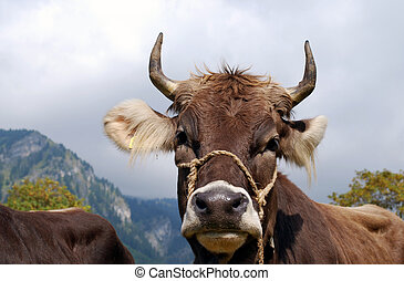 bavarian cow on the cattle market in front of a mountain