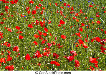 baviera, campo, rhoeas), florecer, amapola, alemania,...