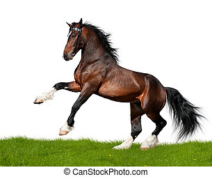 Bay draft horse gallops in field