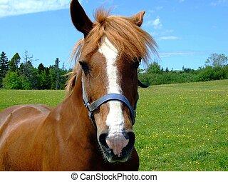 Bay horse close up, Lunenburg County Nova Scotia Canada