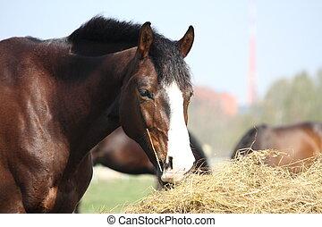 Bay horse eating dry hay - Beautiful bay latvian breed horse...