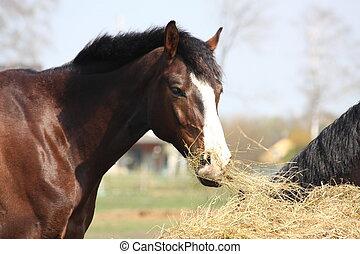Bay horse eating dry hay