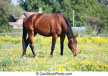 Bay horse eating grass in summer