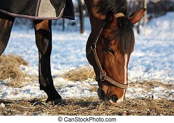 Bay horse eating hay in winter