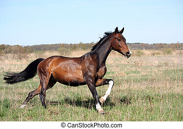 Beautiful bay horse running free in the field