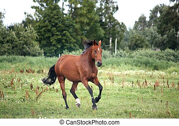 Bay horse galloping free at the pasture in summer