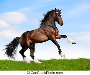 Bay horse gallops in field. - Bay draft horse stallion runs...
