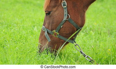 Bay horse grazes on a green meadow and eats fresh grass. ...