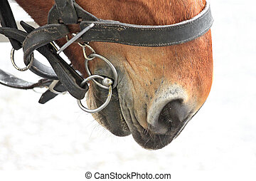 Bay horse in a harness