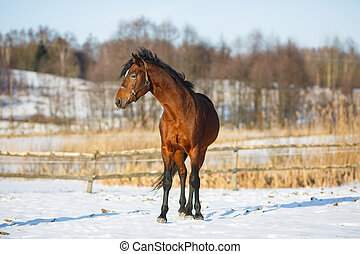 Bay horse in winter
