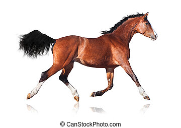 Bay horse isolated on white - Bay horse trot, isolated on...