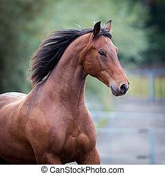 Bay horse portrait closeup. Trakehner horse runs in field