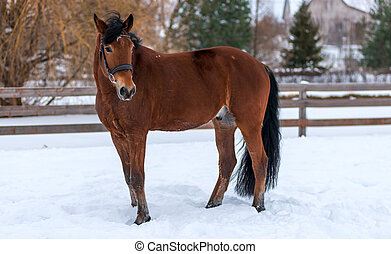Bay horse posing on the field in winter