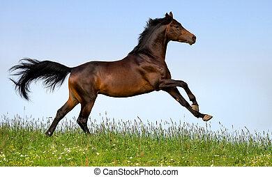 Bay horse running in field outdoor.