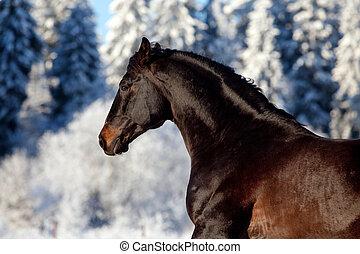 Bay horse runs gallop in winter