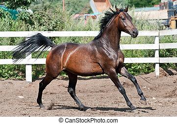 Bay thoroughbred horse on paddok run gallop